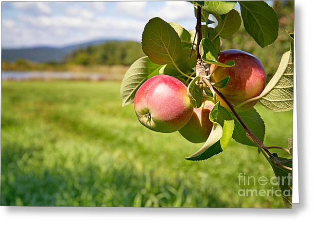 Apple Orchards Greeting Cards - Apple orchard Greeting Card by Jane Rix