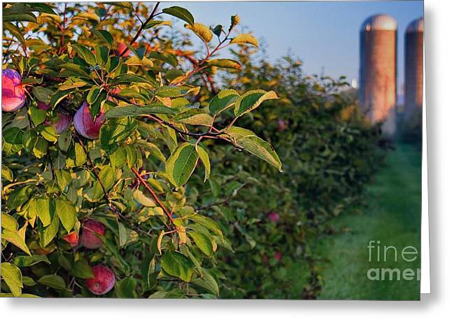 Ready For Harvest Greeting Cards - Apple Orchard Sunrise Autumn Greeting Card by Henry Kowalski