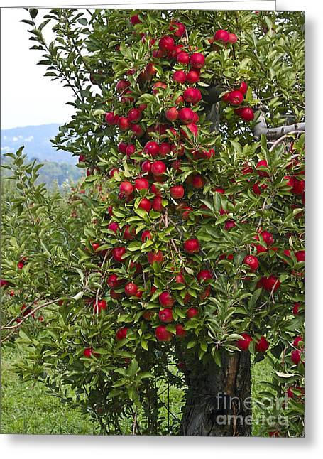 Picking Greeting Cards - Apple Tree Greeting Card by Anthony Sacco