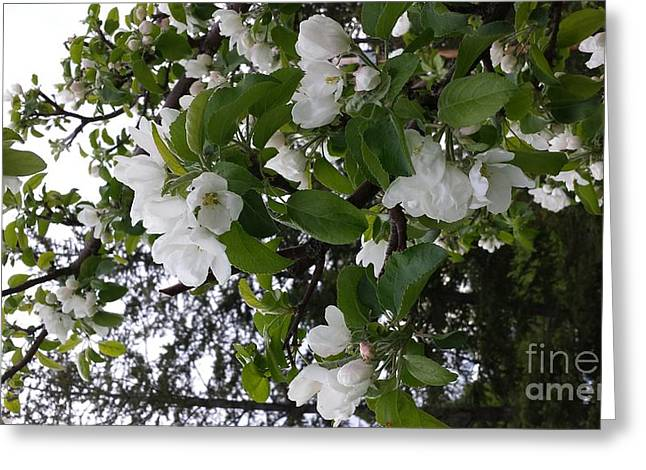 Apple Pyrography Greeting Cards - Apple Tree Bloom Greeting Card by Cailyn Cave