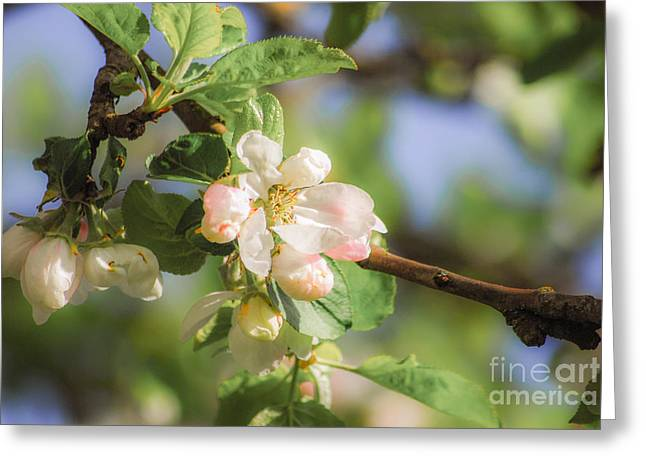 Apple Tree Blossom - Vintage Greeting Card by Hannes Cmarits