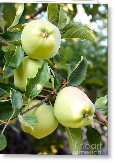 Carol Groenen Golden Greeting Cards - Apple Tree - Golden Delicious Greeting Card by Carol Groenen
