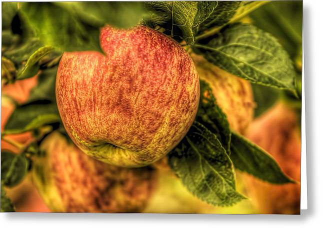 Fruit Tree Art Greeting Cards - Apple tree in orchard Greeting Card by Geraldine Scull