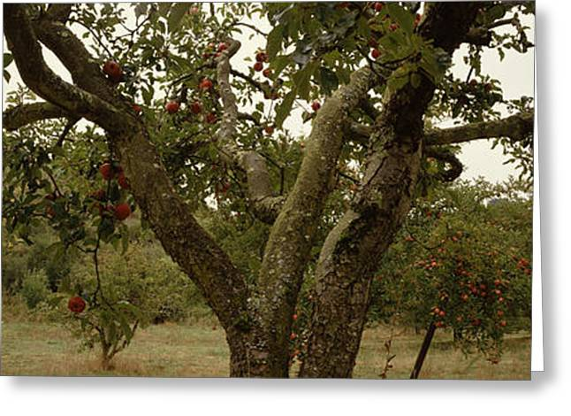 Sonoma Greeting Cards - Apple Trees In An Orchard, Sebastopol Greeting Card by Panoramic Images