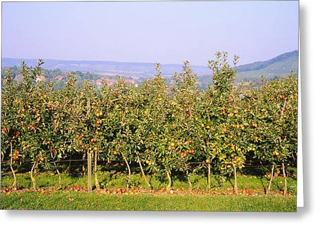 Orchard Greeting Cards - Apple Trees In An Orchard, Weinsberg Greeting Card by Panoramic Images