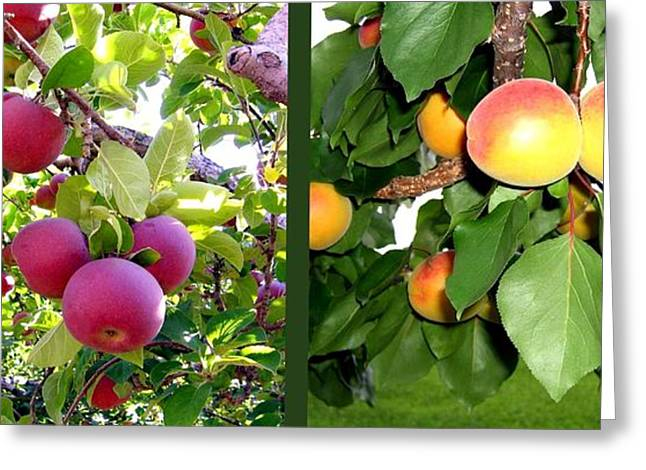 Nature Fusion Greeting Cards - Apples And Apricots Greeting Card by Will Borden