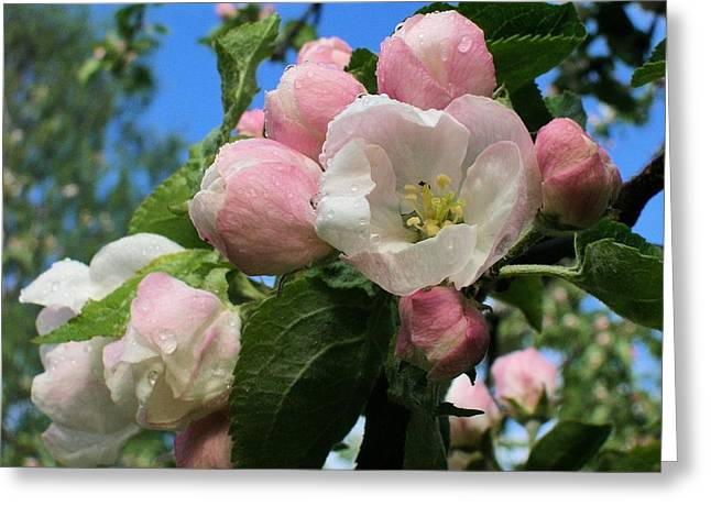 Flovers Greeting Cards - Apples Flower Greeting Card by Paivi Ruokolainen
