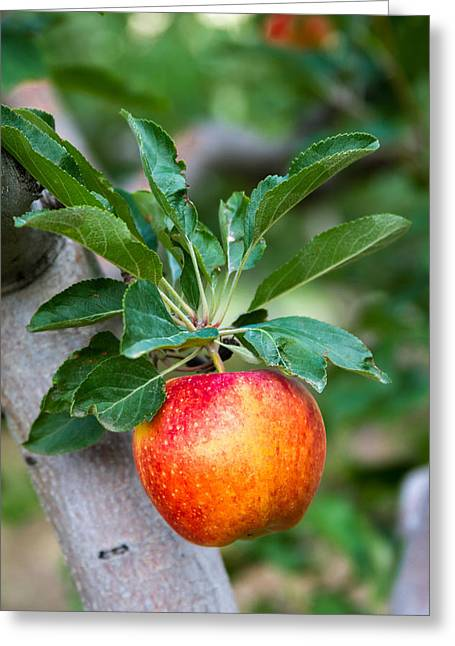Apple Picking Greeting Cards - Apples Hanging in an Orchard Greeting Card by Teri Virbickis