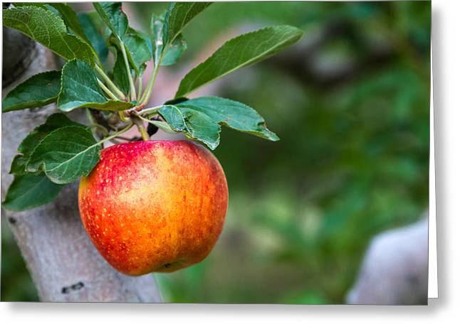 Apple Picking Greeting Cards - Apples Hanging in Orchard Greeting Card by Teri Virbickis