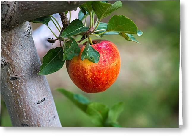 Apple Picking Greeting Cards - Apples Hanging in the Orchard Greeting Card by Teri Virbickis