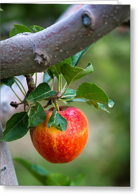 Apple Picking Greeting Cards - Apples Hanging in the Tree Greeting Card by Teri Virbickis
