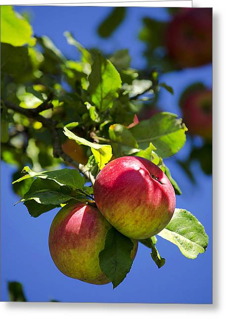 Fruit Tree Art Greeting Cards - Apples on Tree Greeting Card by Christina Rollo