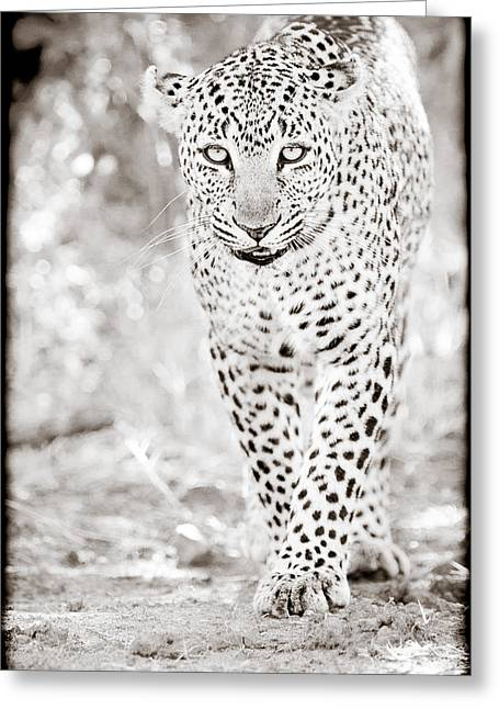 Surveying Greeting Cards - Approaching Leopard Greeting Card by Mike Gaudaur