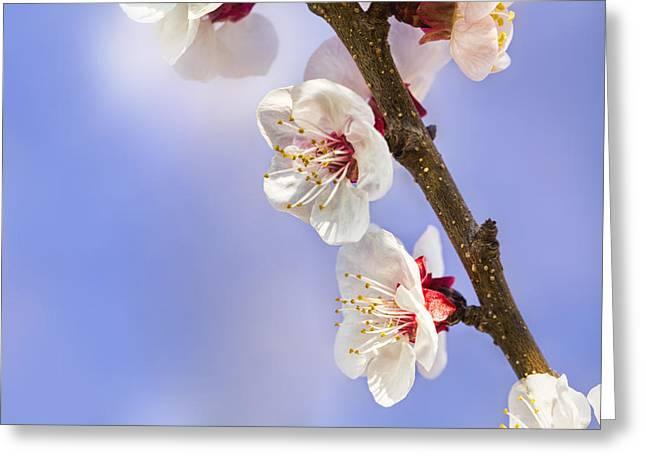 Apricot Tree Greeting Cards - Apricot Flowers Greeting Card by Marc Garrido