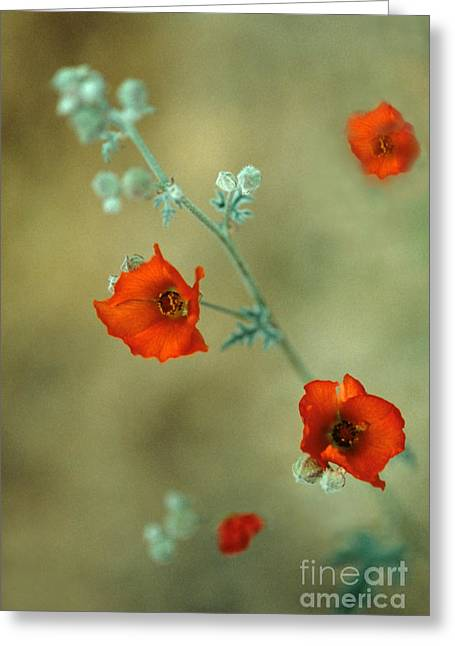Sphaeralcea Greeting Cards - Apricot Mallow Greeting Card by Richard and Ellen Thane