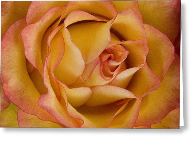 Michael Friedman Greeting Cards - Apricot Rose Greeting Card by Michael Friedman