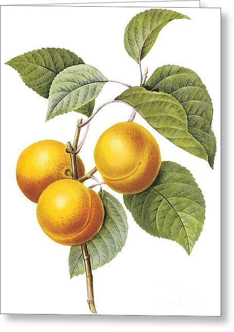 Apricot Drawings Greeting Cards - Apricot Greeting Card by Spencer McKain