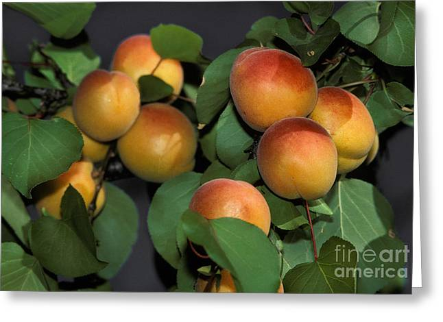Apricot Greeting Cards - Apricots Ready For Harvest Greeting Card by Ron Sanford