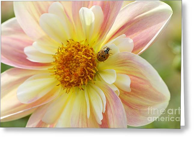 Apricot Greeting Cards - April Heather Dahlia with Ladybug Greeting Card by Sharon  Talson