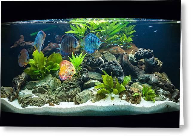 Decorative Fish Greeting Cards - Aquarium fishes Greeting Card by Grigoriy Pil