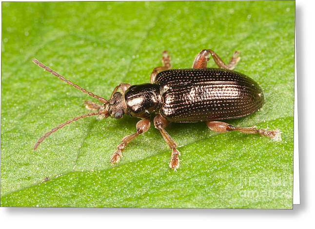 Cross River Greeting Cards - Aquatic Leaf Beetle Greeting Card by Clarence Holmes