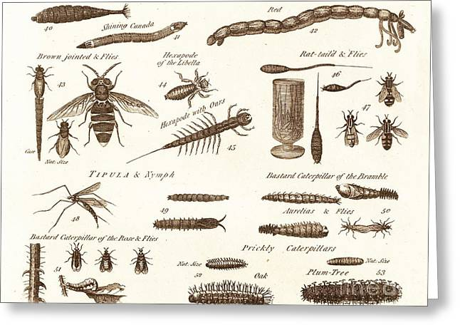 Aquatic Greeting Cards - Aquatic Worms, Flies And Catapillars. Greeting Card by David Parker