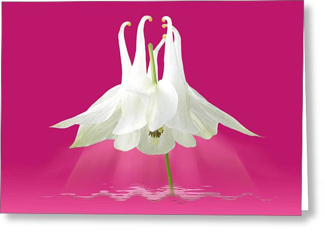Garden Petal Image Greeting Cards - Aquilegia Spotlight in Cerise Pink Greeting Card by Gill Billington