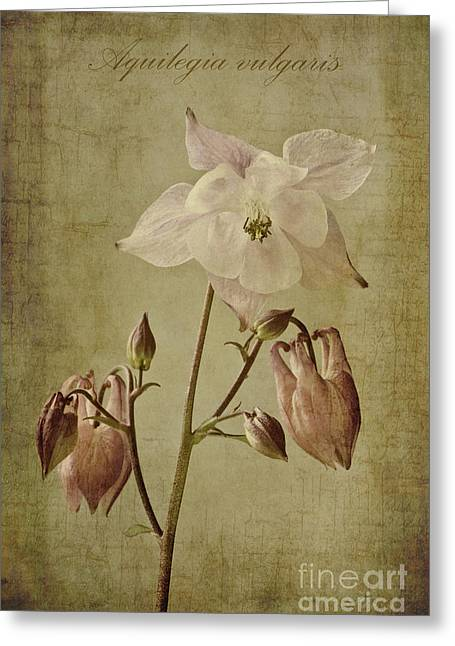 Vulgaris Greeting Cards - Aquilegia vulgaris with textures Greeting Card by John Edwards
