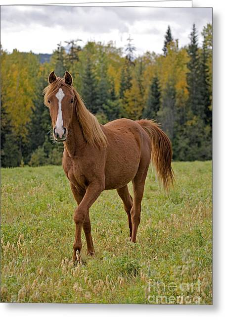 Yearling Horse Greeting Cards - Arabian Chestnut Yearling Greeting Card by Rolf Kopfle