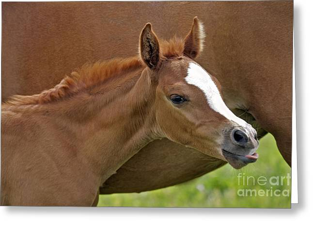 Sticking Out Tongue Greeting Cards - Arabian Foal, Tongue Out Greeting Card by Rolf Kopfle