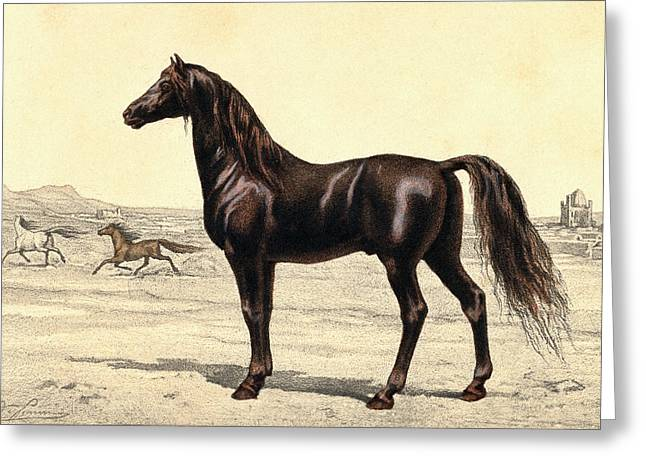 Arabian Horse Greeting Card by Collection Abecasis