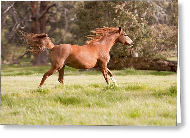 Arabian Horse Running Free Greeting Card by Michelle Wrighton
