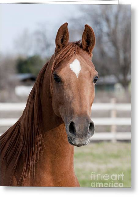 Horse Breed Greeting Cards - Arabian Horse Greeting Card by William H Mullins