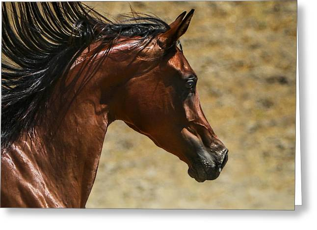 Quarter Horses Greeting Cards - Arabian Mare II Greeting Card by Holly Martin