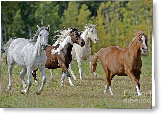 Quarterhorses Greeting Cards - Arabian, Paint And Quarterhorses Greeting Card by Rolf Kopfle