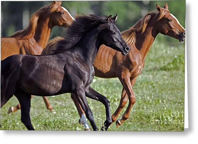 Yearling Horse Greeting Cards - Arabian Yearlings Galloping Greeting Card by Rolf Kopfle