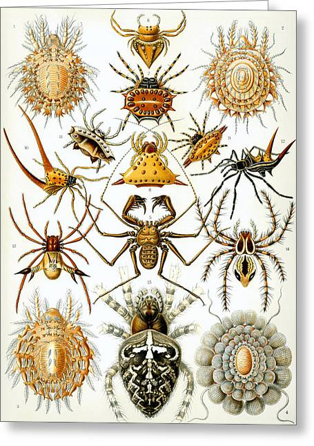 Ernst Heinrich Philipp August Haeckel Greeting Cards - Arachnida Greeting Card by Nomad Art And  Design