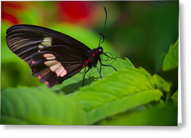 Arcas Greeting Cards - Arcas Cattleheart Butterfly Greeting Card by Lindley Johnson
