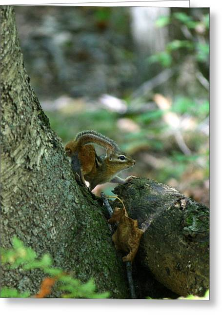 Natures Photos Greeting Cards - Arched Chipmunk Greeting Card by Neal  Eslinger