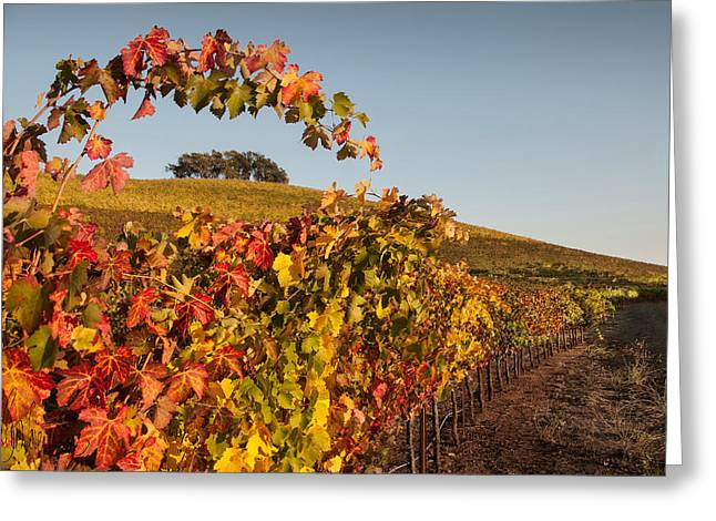 Grapevines Greeting Cards - Arched Grapevine in Autumn Greeting Card by Kent Sorensen
