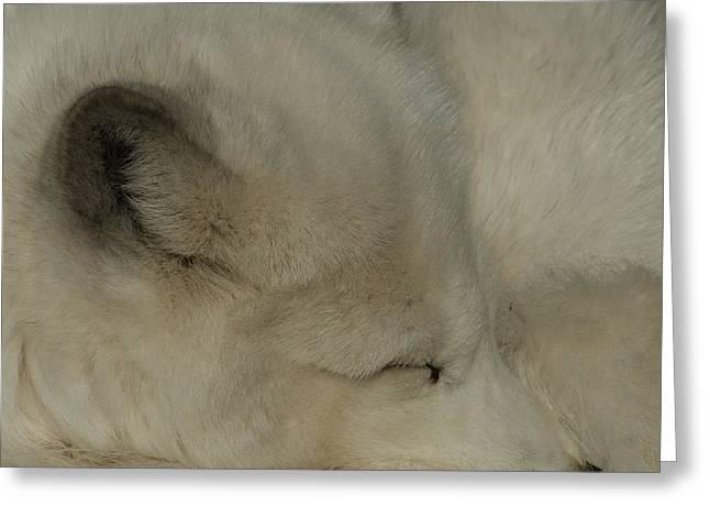 Arctic Dog Greeting Cards - Arctic Fox Greeting Card by Ernie Echols