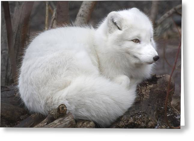 Vulpes Greeting Cards - Arctic Fox Greeting Card by Jim Hughes