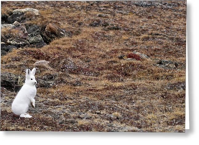Arctic Hare (lepus Articus Greeting Card by Daisy Gilardini