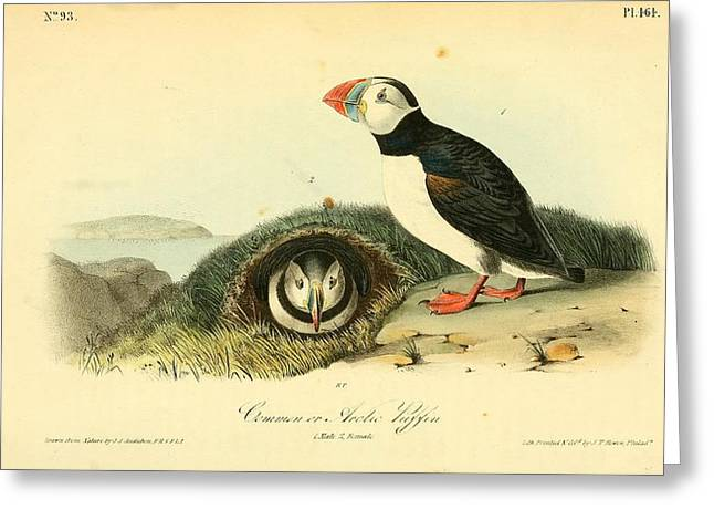Arctic Puffin Greeting Card by Philip Ralley