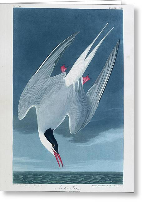 Arctic Tern Greeting Card by British Library