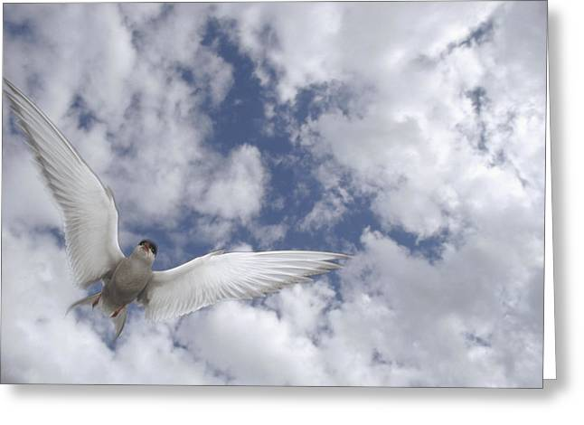 Tern Greeting Cards - Arctic Tern Flying Against Cloudy Sky Greeting Card by Michael Quinton