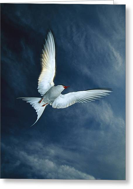Tern Greeting Cards - Arctic Tern Flying Alaska Greeting Card by Michael Quinton
