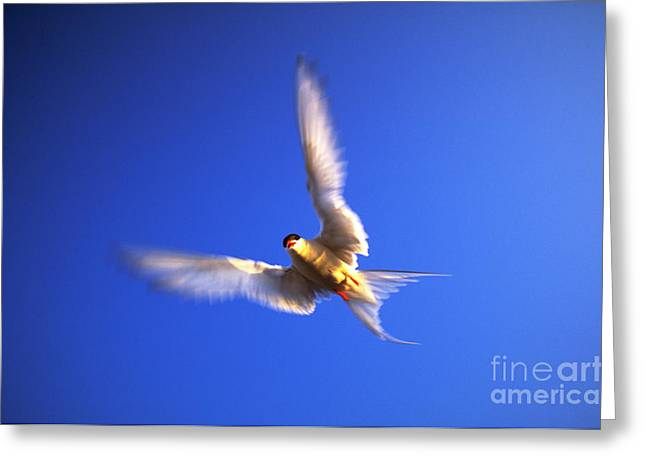 Arctic Terns Greeting Cards - Arctic Tern In Flight Greeting Card by Art Wolfe