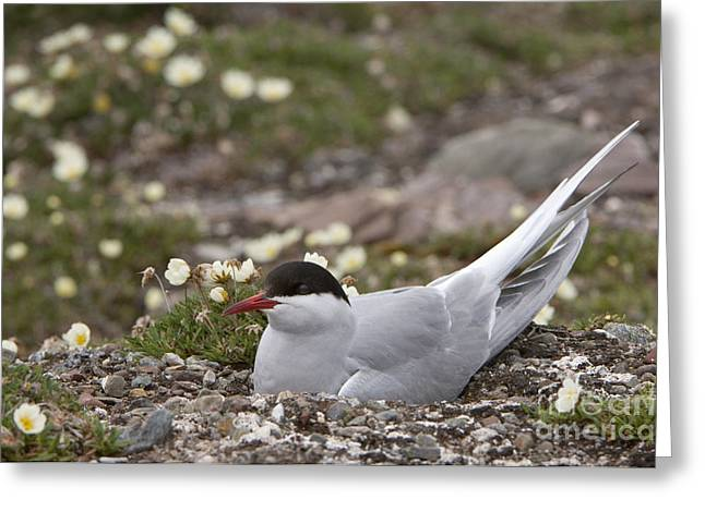 Arctic Tern In Its Nest Greeting Card by John Shaw