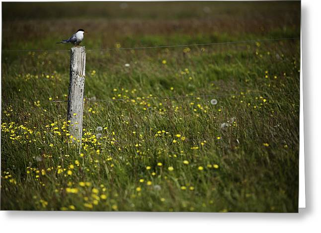 Arctic Terns Greeting Cards - Arctic Tern on a wood post Greeting Card by Ruben Vicente